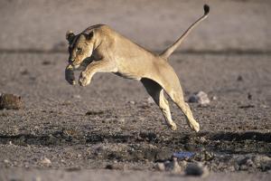 Lioness Jumping over Water (Panthera Leo) Etosha Np, Namibia by Tony Heald