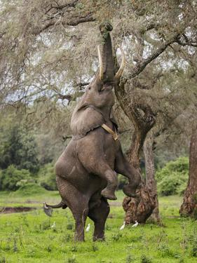 Male Elephant standing on hind legs to reach acacia pods. Mana Pools National Park, Zimbabwe by Tony Heald