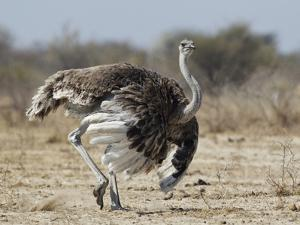 Ostrich [Struthio Camelus] Courtship Display By Female, Etosha National Park, Namibia, August by Tony Heald
