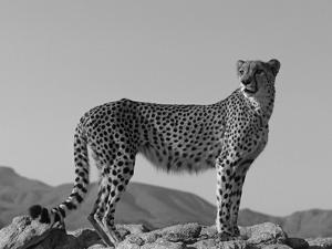 Portrait of Standing Cheetah, Tsaobis Leopard Park, Namibia by Tony Heald