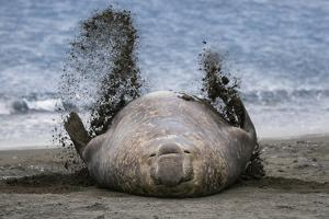 Southern elephant seal, male flicking sand over body on beach. Right Whale Bay, South Georgia by Tony Heald