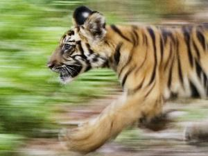Tiger Cub Running, Four-Month-Old, Bandhavgarh National Park, India by Tony Heald