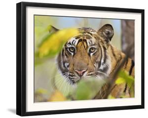 Tiger Face Portrait Amongst Foliage, Bandhavgarh National Park, India 2007 by Tony Heald