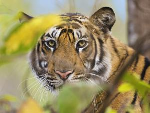 Tiger Face Portrait Amongst Foliage, Bandhavgarh National Park, India 2007 by Tony Heald