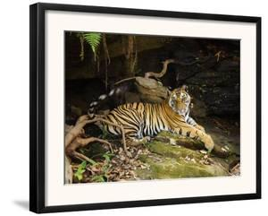 Tiger, Lying on Stone and Flicking Tail, Bandhavgarh National Park, India by Tony Heald