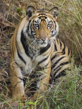 Tiger Sittingportrait, Bandhavgarh National Park, India 2007 by Tony Heald