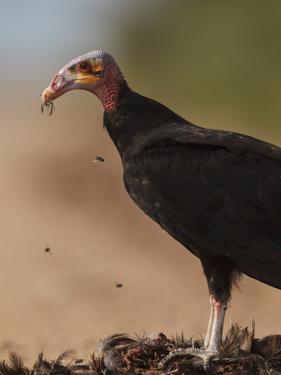 Turkey Vulture (Cathartes Aura) Feeding On Roadkill With Flies In The Air, Pantanal, Brazil by Tony Heald