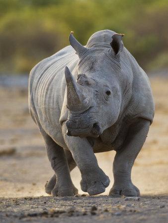 White Rhinoceros Etosha Np, Namibia January