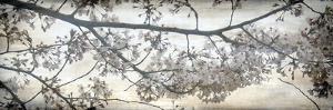 Cherry Blossom Tree by Tony Koukos