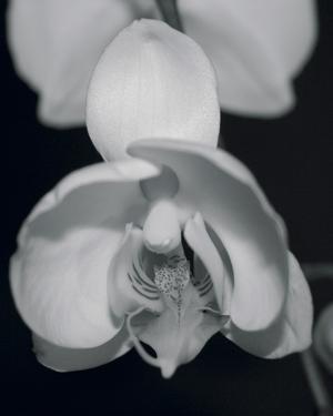 Night Orchid I by Tony Koukos