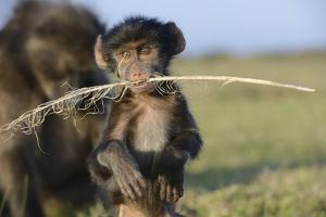 Chacma Baboon (Papio Ursinus) Infant Playing with Ostrich Feather by Tony Phelps