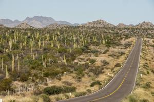 Cardon cacti by main road down Baja California, near Loreto, Mexico, North America by Tony Waltham