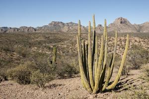 Cardon cactus, near Loreto, Baja California, Mexico, North America by Tony Waltham