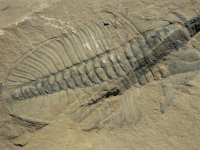 Ogygiopsis Klotzi, Fossil, Trilobite 50Mm Long with Small Fault Through It, Burgess Shale by Tony Waltham