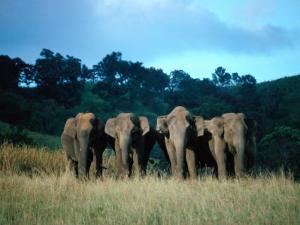 Four Elephants in Periyar Sanctuary of Kerala, Kerala, India by Tony Wheeler