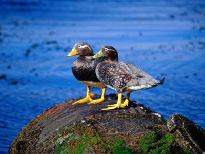 Two Flightless Steamer Ducks on Relic, San Carlos, East Falkland, Falkland Islands