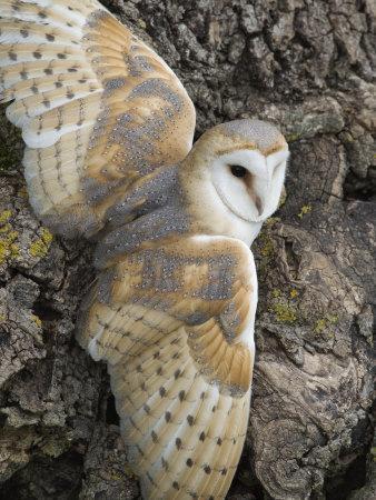 Barn Owl, Captive, Cumbria, England, United Kingdom, Europe