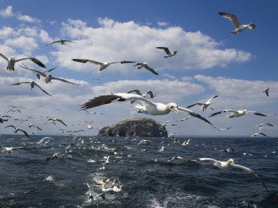 Gannets in Flight, Following Fishing Boat Off Bass Rock, Firth of Forth, Scotland