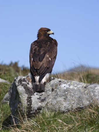 Golden Eagle, on Moorland, Captive, United Kingdom, Europe