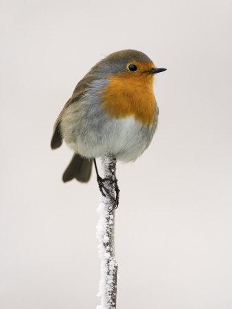 Robin on Frosty Twig in Winter, Northumberland, England, United Kingdom