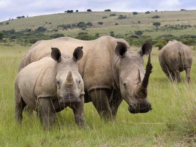White Rhino, and Calf, Ithala Game Reserve, Kwazulu Natal, South Africa