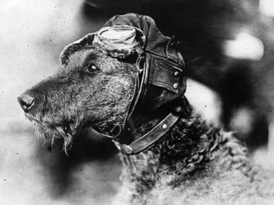 Canine Aviator by Topical Press Agency