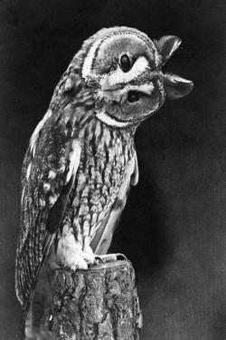 Quizzical Owl by Topical Press Agency