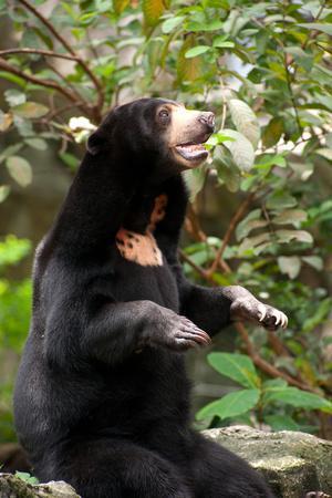 Asian Black Bear.