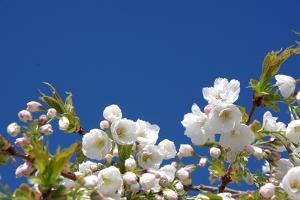 Cherry Blossom by torekimi
