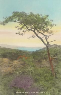 Torrey Pine, San Diego County, California