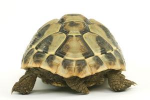 Tortoise Rear View in Studio