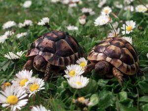 Tortoises in the Flower Beds