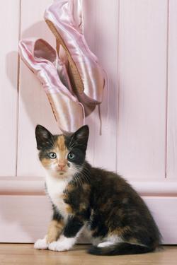 Tortoiseshell Cat Kitten with Ballet Shoes