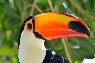 https://imgc.allpostersimages.com/img/posters/toucan-outdoor-ramphastos-sulphuratus_u-L-Q1037HP0.jpg?p=0