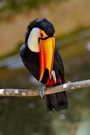 https://imgc.allpostersimages.com/img/posters/toucan-outdoor-ramphastos-sulphuratus_u-L-Q1037IV0.jpg?p=0