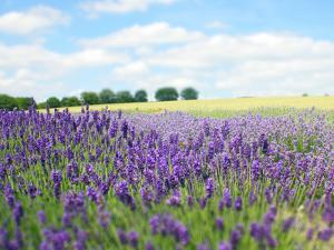 English Lavender Field 1 by Toula Mavridou-Messer