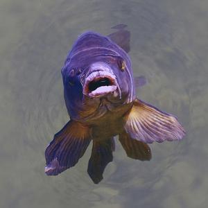 Purple Fish by Toula Mavridou-Messer