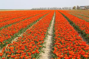 Rows of Orange Tulips by tpzijl