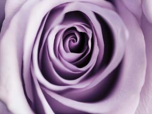 Lavender Bloom by Tracey Telik