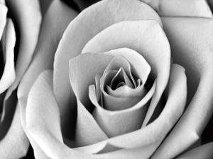 White Noise Rose 2 by Tracey Telik