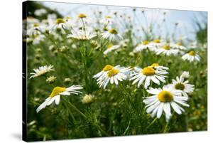 A Field of Daisies, Tollerton Nottinghamshire England UK by Tracey Whitefoot