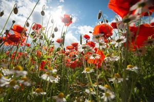 A Large Field of Poppies and Daisies Near Newark in Nottinghamshire, England Uk by Tracey Whitefoot
