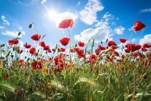 A Large Field of Poppies Near Newark in Nottinghamshire, England Uk by Tracey Whitefoot