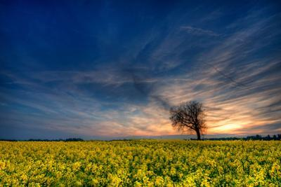 Sunset over a Field of Rapeseed, Near Risley in Derbyshire England UK by Tracey Whitefoot