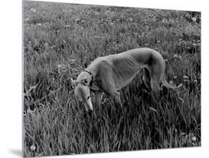 Greyhound in Field by Traer Scott
