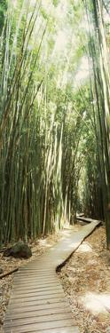 Trail in a Bamboo Forest, Hana Coast, Maui, Hawaii, USA