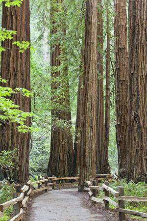 https://imgc.allpostersimages.com/img/posters/trail-through-muir-woods-national-monument-california-usa_u-L-PXR6IC0.jpg?p=0