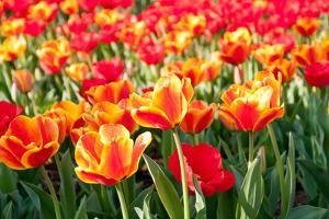 Sea of Red and Orange Tulips - Full Frame by Travelif