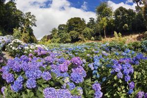 Trebah Garden Hydrangeas Summer