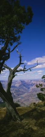 Tree at the Edge of a Canyon, Grand Canyon National Park, Arizona, USA